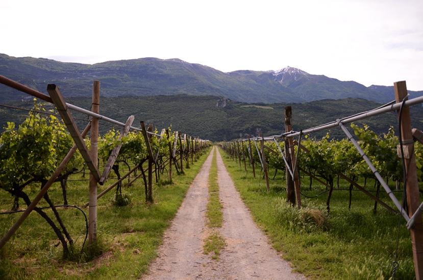 Trentino: viñedos
