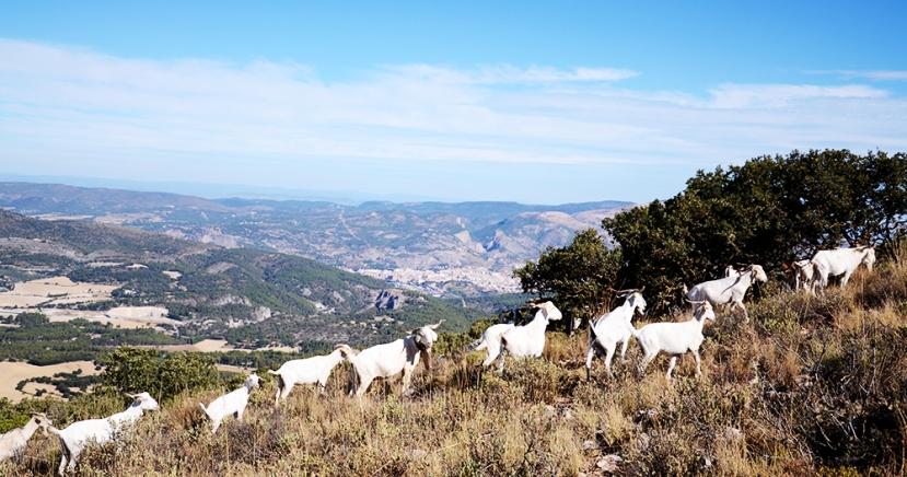Des de la serra dels Plans: Alcoi i les cabres